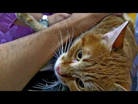 Вопрос: Как лечить поврежденный хвост кошке?