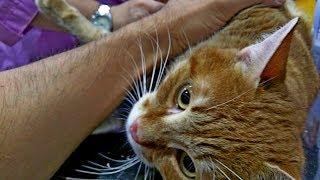 Сделали коту УЗИ, сломан хвост, травмирована почка