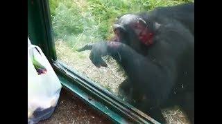 イギリス・ウェールズのウェルシュ・マウンテン動物園にて。1匹のチンパ...
