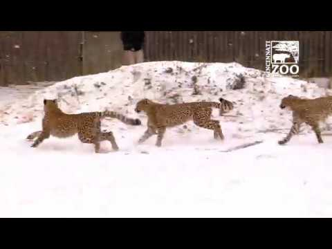 Cheetah Cubs Experience 1st Snow - Cincinnati Zoo