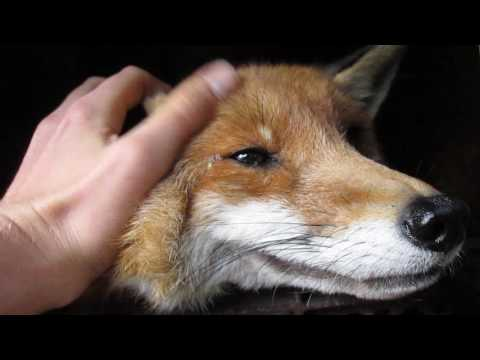 old cuddly Fox