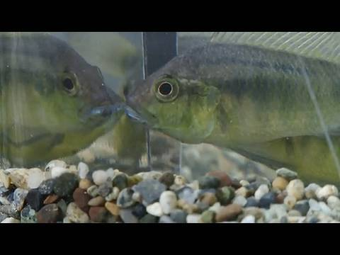 Understanding Fish Reactions to Their Reflection