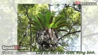 Cây Ổ Phụng - Platycerium Coronarium