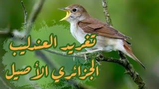 تغريد العندليب الجزائري الأصيل (البلبل) لتسميع هجين الحسون