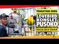 PENDATANG BARU : Jangan Kasih Kendor ! KONSLET PUSOKO Mampu Bersaing Dengan Lovebird Nasional