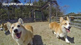 Corgis Chase Camera / カメラに付いて来るコーギーズ 20150313 Goro@welsh Corgi コーギー Dog