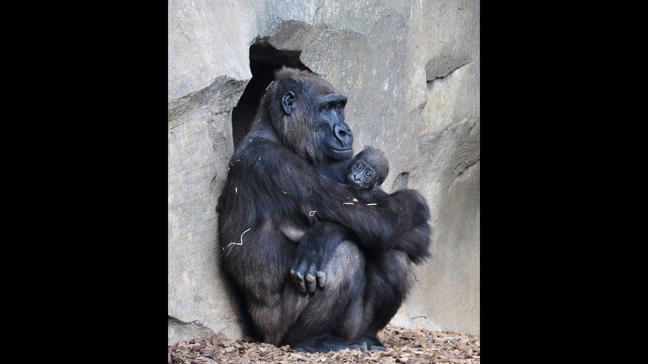 84360cc415dc Bebé gorila con 10 semanas de vida (Bioparc Valencia) - YouTube