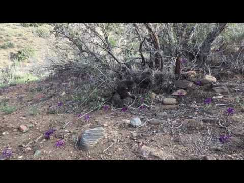Southern Pacific Rattlesnake Piñon Hills area