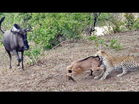 Battle Between Leopard & Wildebeest Mother over Calf | Graphic