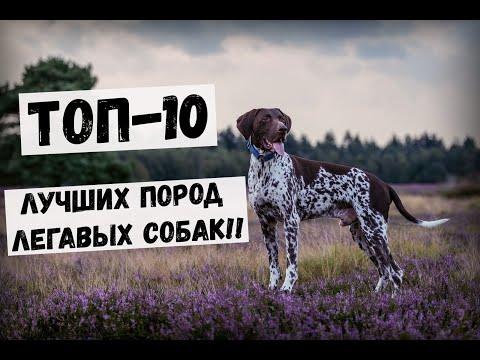 ТОП-10 ЛУЧШИХ ПОРОД ЛЕГАВЫХ СОБАК!! #Собаки #Охота #Охотничьи_собаки #Животные #легавая #порода