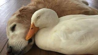 【感動】犬とアヒルの驚くべき友情は、 ルックスではなく心が通じている...