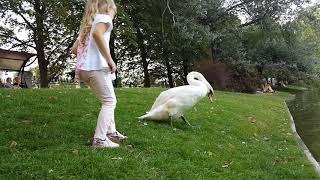 Ловим лебедя