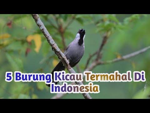 5 BURUNG KICAU TERMAHAL DI INDONESIA