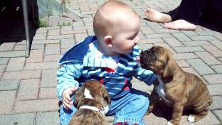 Boxer Puppies And Baby