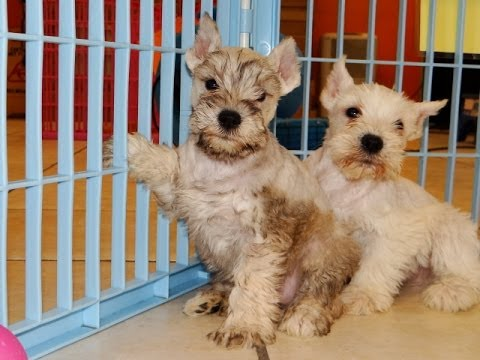 miniature schnauzer puppies dogs for sale in albany
