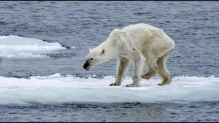 白くま絶滅危惧 温暖化の影響でガリガリに痩せ細ったシロクマ