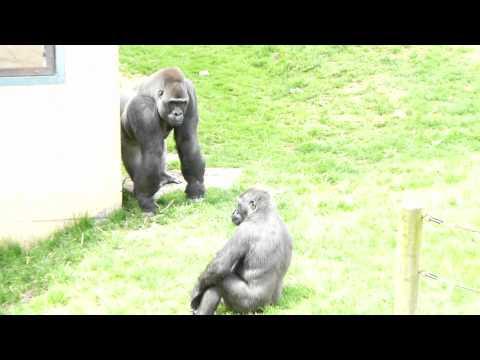 The Gorillas Exhibit In Philadelphia Zoo 2011