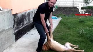 """РАЗОБЛАЧЕНИЕ """"Собаки-выпиваки"""": оказывается Пёс был трезв как стекло!!!) [Рыбачёв и Пёс НЕИЗДАННОЕ]"""