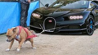 10 Most Powerful And Dangerous Pitbull Dogs