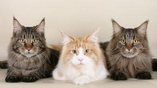 Мейн-кун – популярная порода крупных американских кошек   Краткое описание и фото породы мэйн кун
