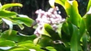Pollinisation d