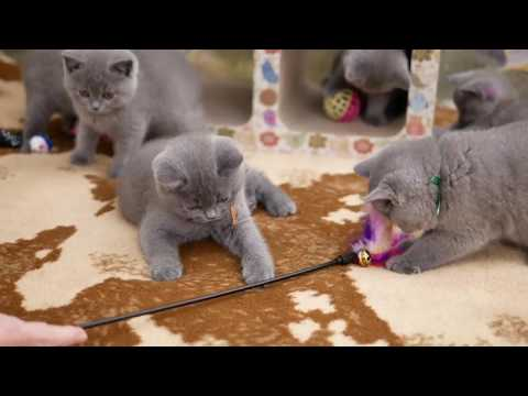 Британские котята в возрасте 10 недель (Litter- К2)