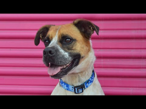 California Boxer Rescue - ADOPTIONS - Rescue Me!