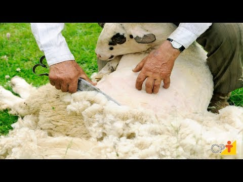 Clique e veja o vídeo Curso Criação de Ovinos para Produção de Lã CPT