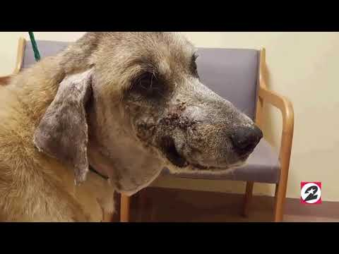 The dog slowly heals after being shot in the face with shotgun