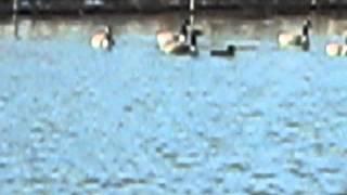 20070320.GBH.Geese.Ducks.avi