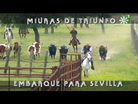 PGM 486 Toros MIURAS DE TRIUNFO