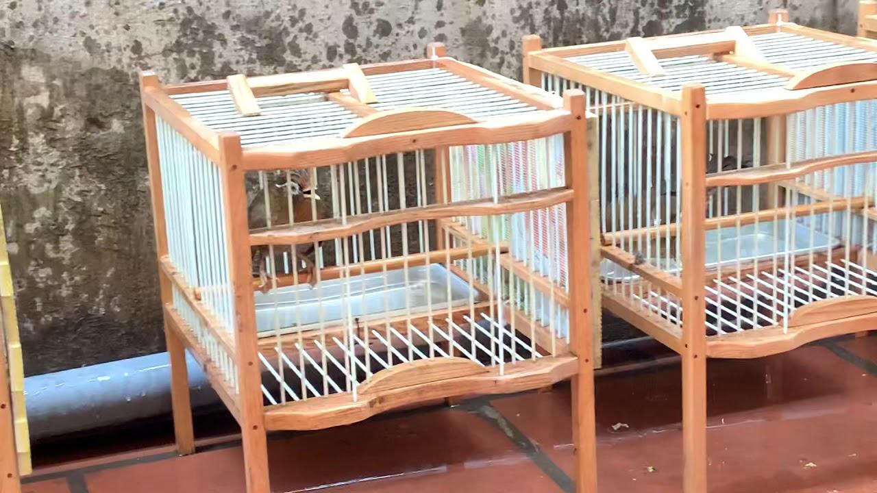 Chuyên bán chim hoạ mi . LH 0908070555 / 0944114410 Hà Nội. Ship TQ . Facebook : Chim Cảnh Đất Việt.