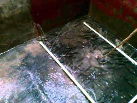 criadero o crianza de tilapia o mojarra en un estanque