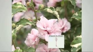 Cottage Farms Sugar Tip Rose of Sharon Patio Tree with Dan Wheeler