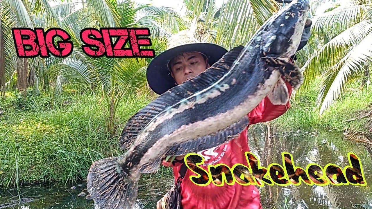 ตกปลาชะโด ร่องสวนมะพร้าวสู้โหดๆ กิ๊ฟเปอร์พังเลย  Giant Snakehead