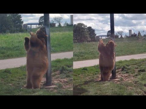 Real Life Baloo The Bear 'Dances' On Pole