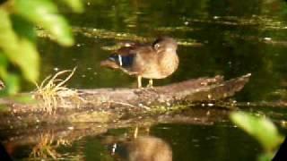 Female Wood duck preening