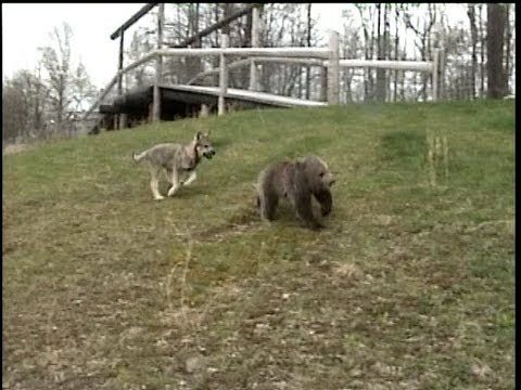 WOLF CUB chases GRIZZLY BEAR CUB