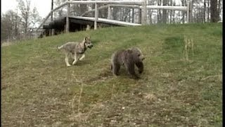 WOLF CUB chases GRIZZLY BEAR CUB -  © Denmortube