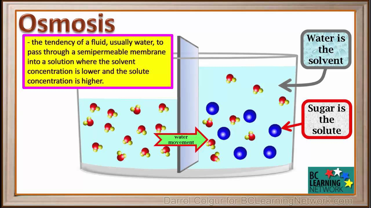 Bcln - Osmosis - Water -sugar Solution - Biology