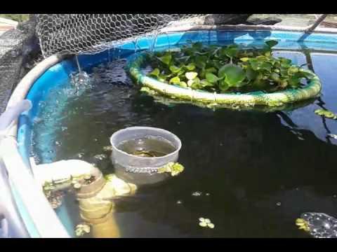 Cria o til pia em piscina de lts doovi for Como criar mojarra tilapia en casa