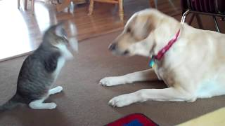 Kitten Teasing Dog | Tabby Cat vs Yellow Labrador Retriever