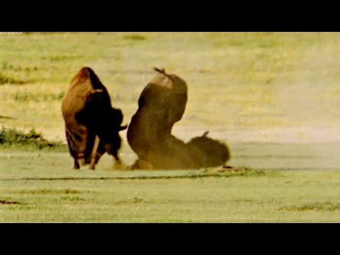 Fighting For The Female | Animal Attraction | BBC