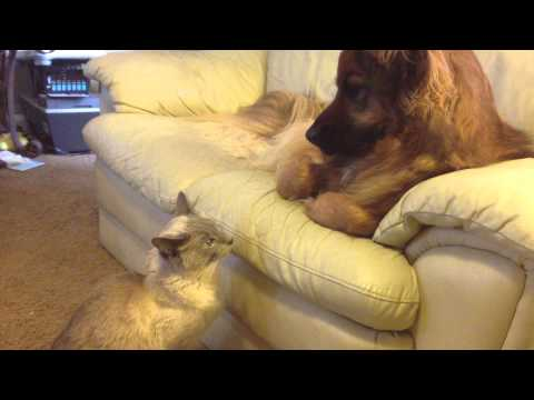 Cat Attacks Dog!