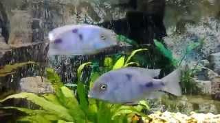 видео африканские цихлиды