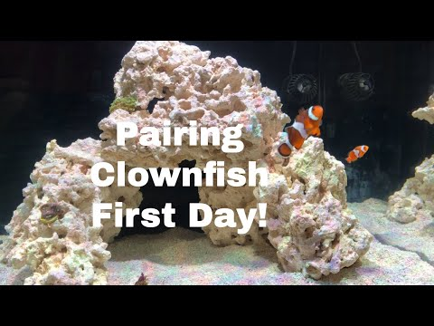 【Clownfish Documentary】First Day Of Pairing