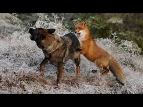 Fox vs Dog.  Fox beat dog
