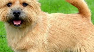 Norwich Terrier  Dog Breed  Pet Friend