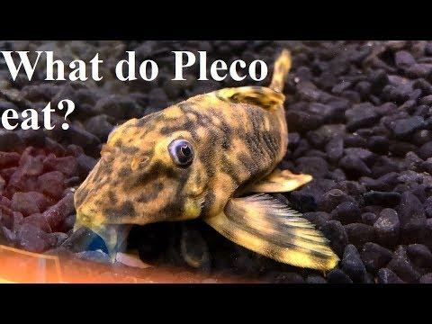 What Do Pleco Eat? (Loricariidae)