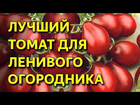 Посадите этот томат и всегда будете с урожаем! Томат Груши Шоколадные. Неприхотливый изысканый томат